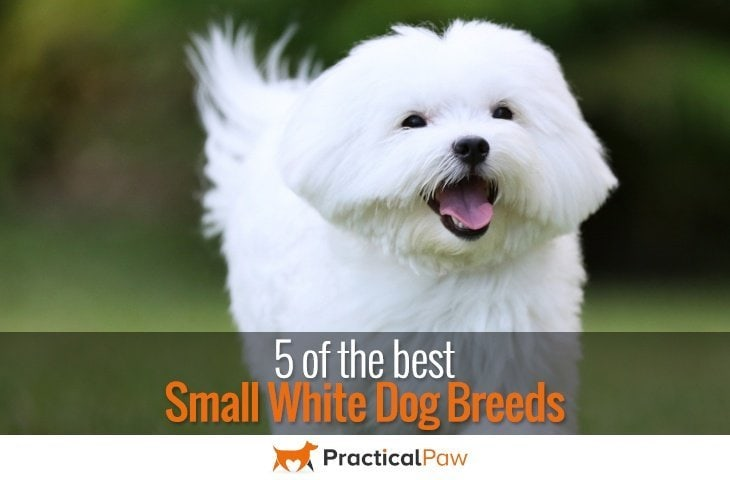 5 of the best small white dog breeds - PracticalPaw.com