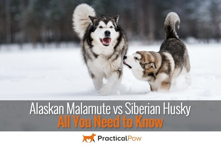 Alaskan Malamute vs Siberian Husky: All You Need to Know - PracticalPaw.com