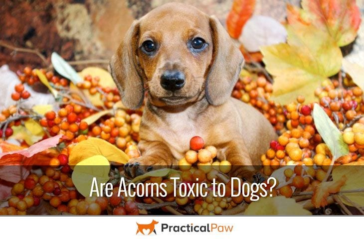 Are acorns toxic to dogs