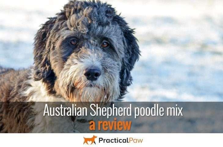 Australian Shepherd Poodle Mix | www.imgkid.com - The ...