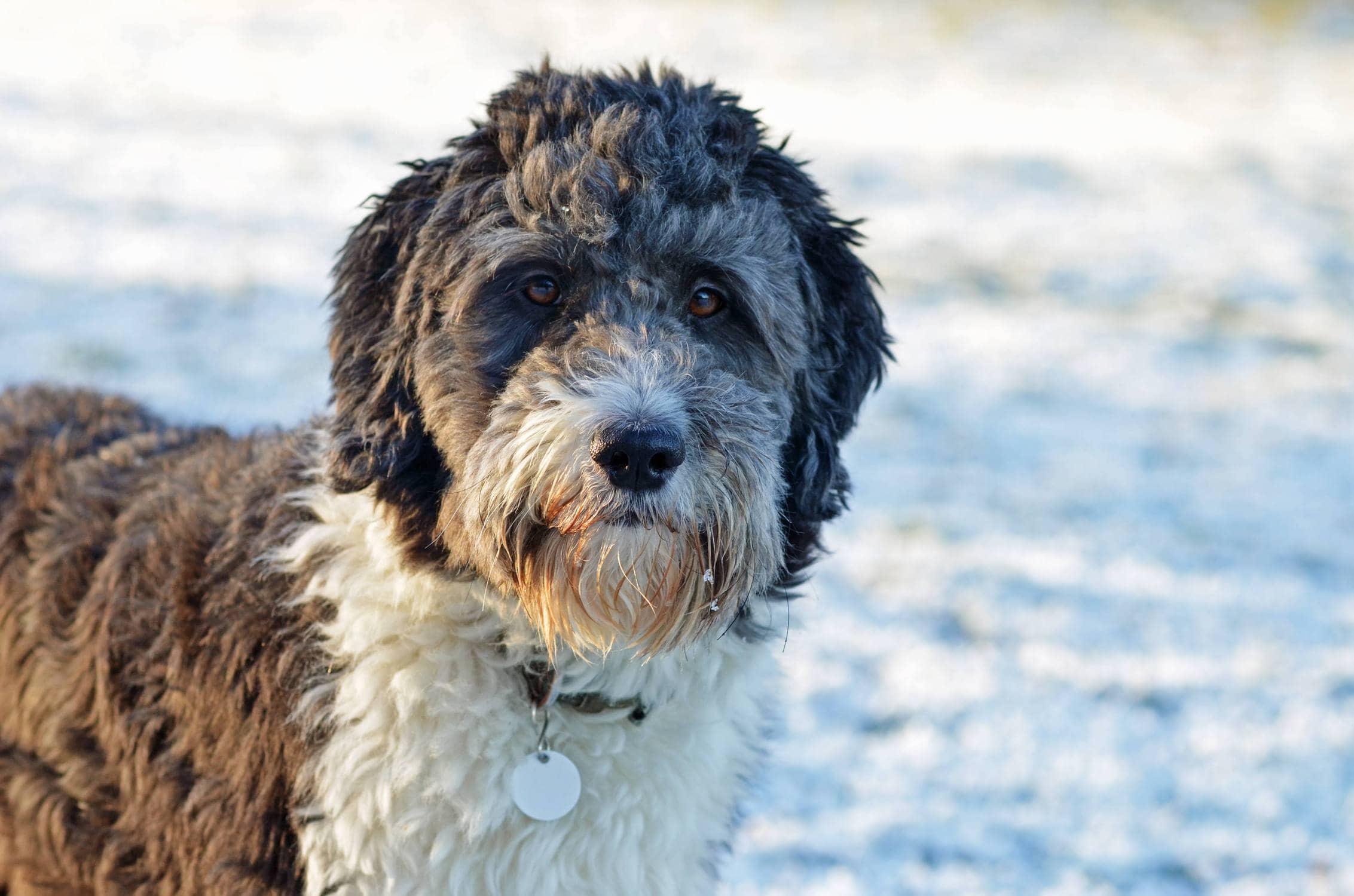 Australian shepherd poodle mix