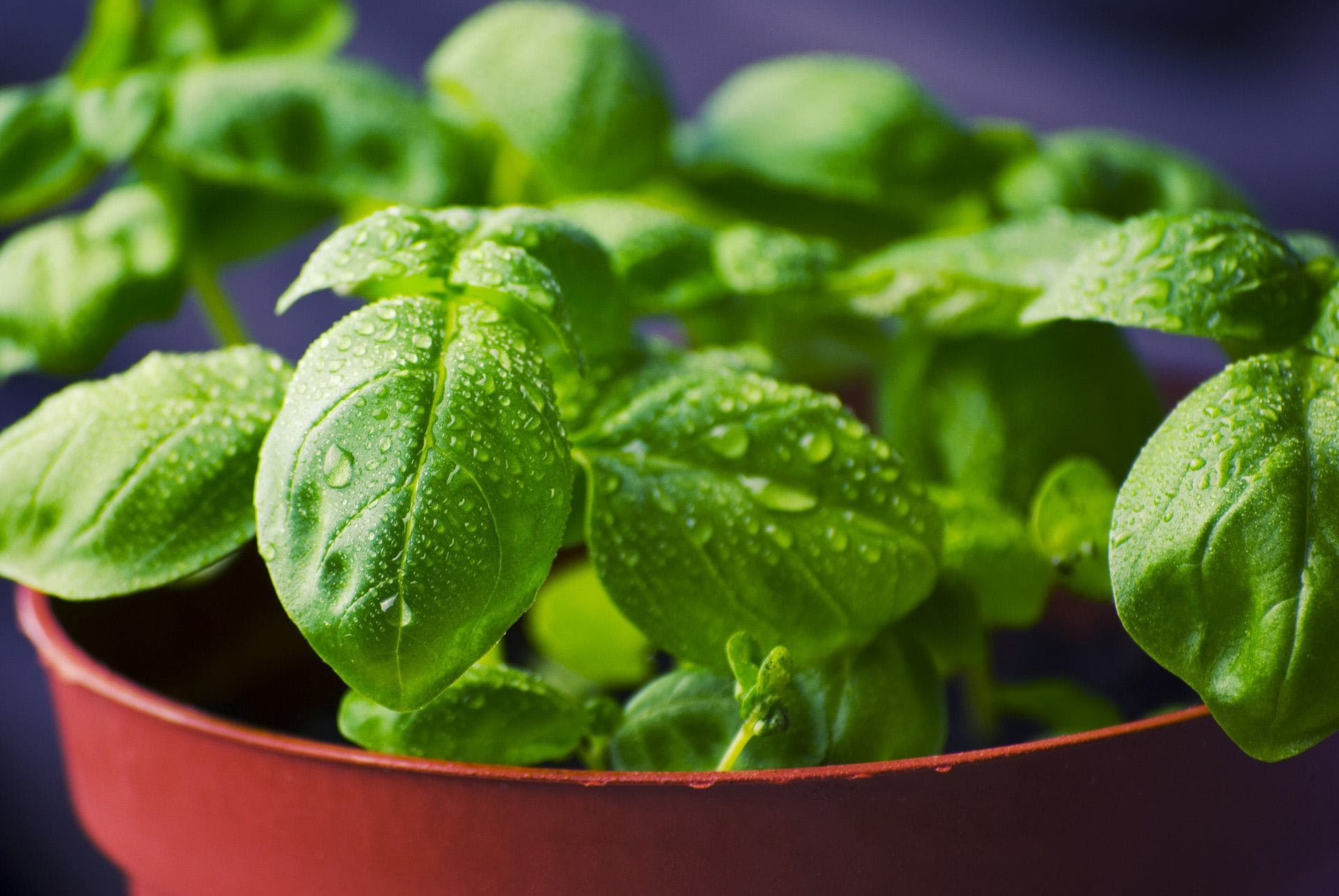 Basil safe herbs for dogs