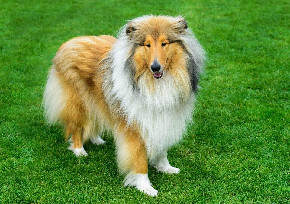 Best-Dogs-for-First-Time-Owners-Collie
