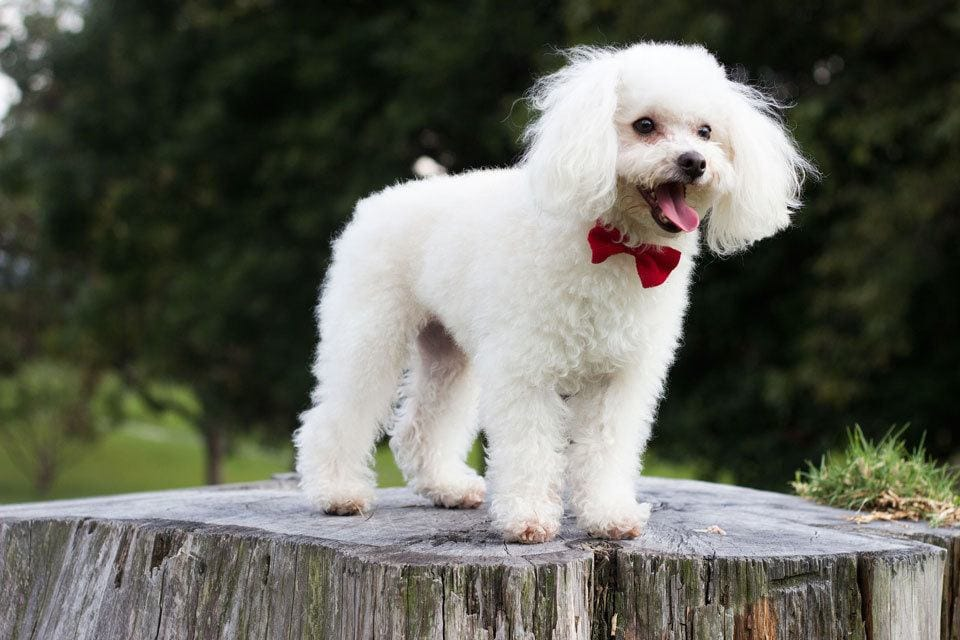 Best-Dogs-for-First-time-owners-poodle