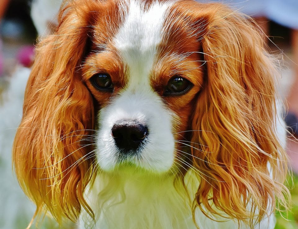 Best-dog-for-first-time-owners-king-charles-spaniel