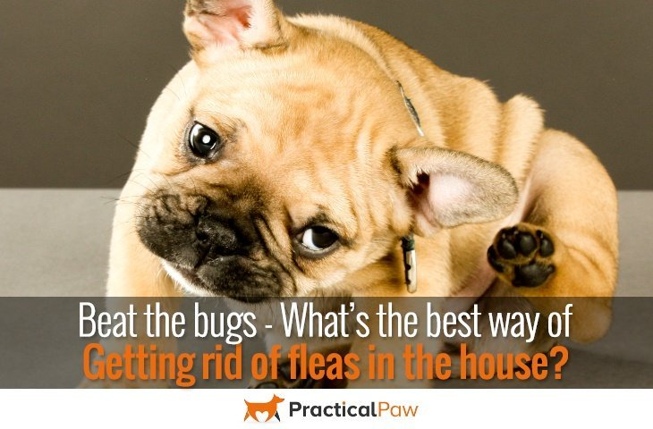 Best way of getting rid of fleas in the house - PracticalPaw.com