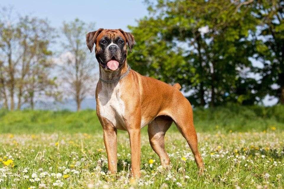 Boxer-Dog-Breed