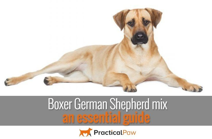 Boxer German Shepherd mix