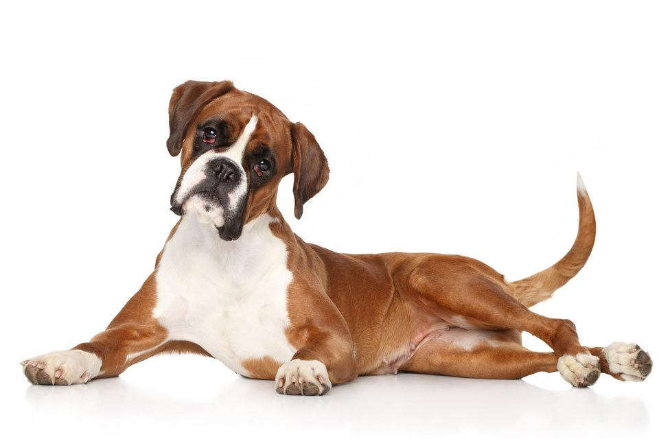 Boxer-dog-breed-grooming