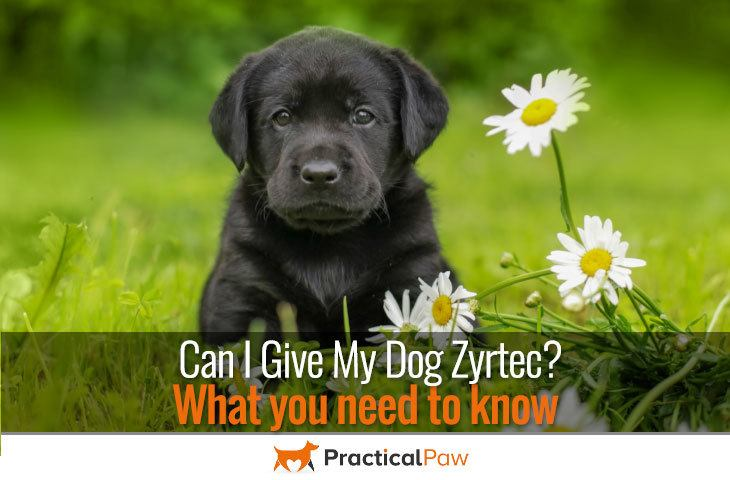 Can I give my dog Zyrtec