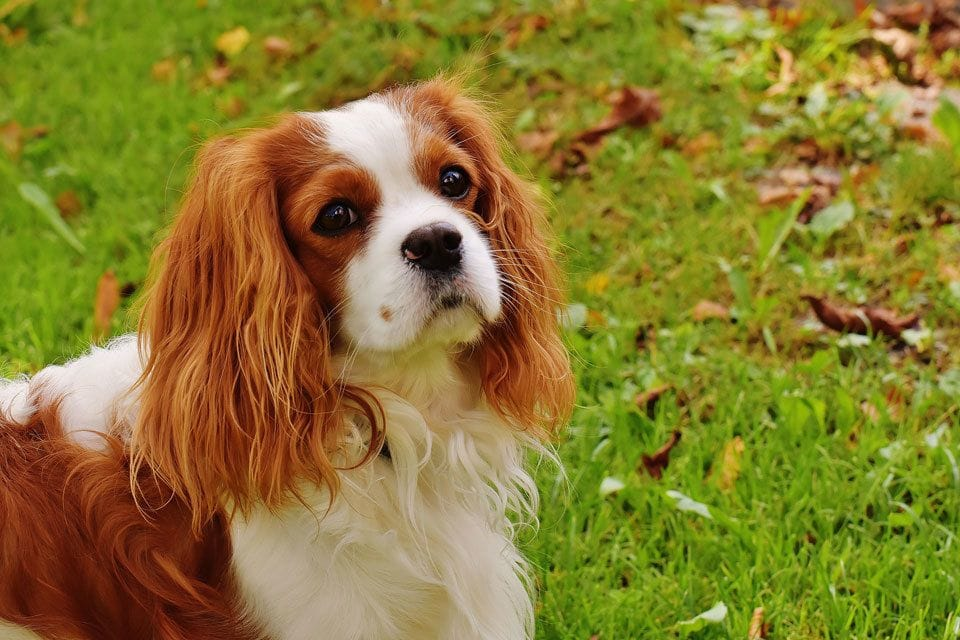Types of Spaniel Cavalier-King-Charles-Spaniel
