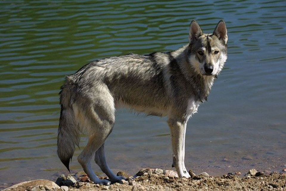Dog-breeds-that-look-like-wolves-Tamaskan