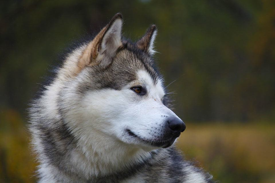 Dog-breeds-that-look-like-wolves---malamute