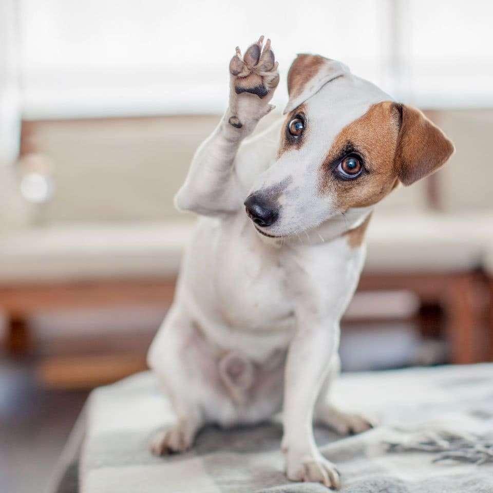 Dog-ear-types-button-ears
