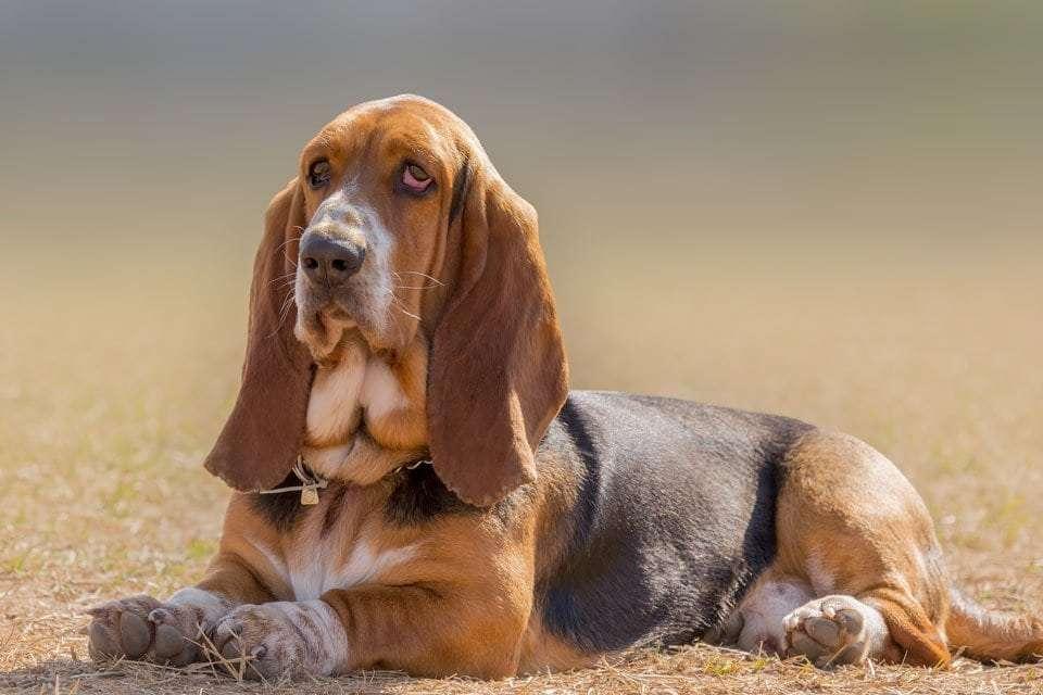 Dog-ear-types-floppy