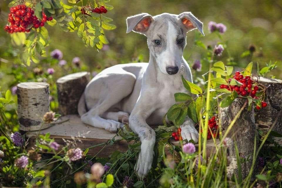 Dog-ear-types-rose-ears