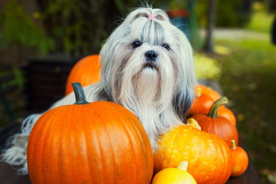 Dogs-and-Halloween