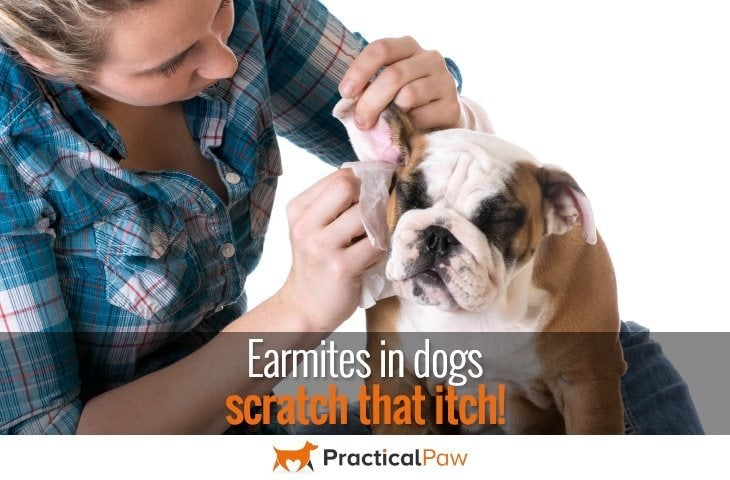 Ear mites in dogs, scratch that itch - PracticalPaw.com