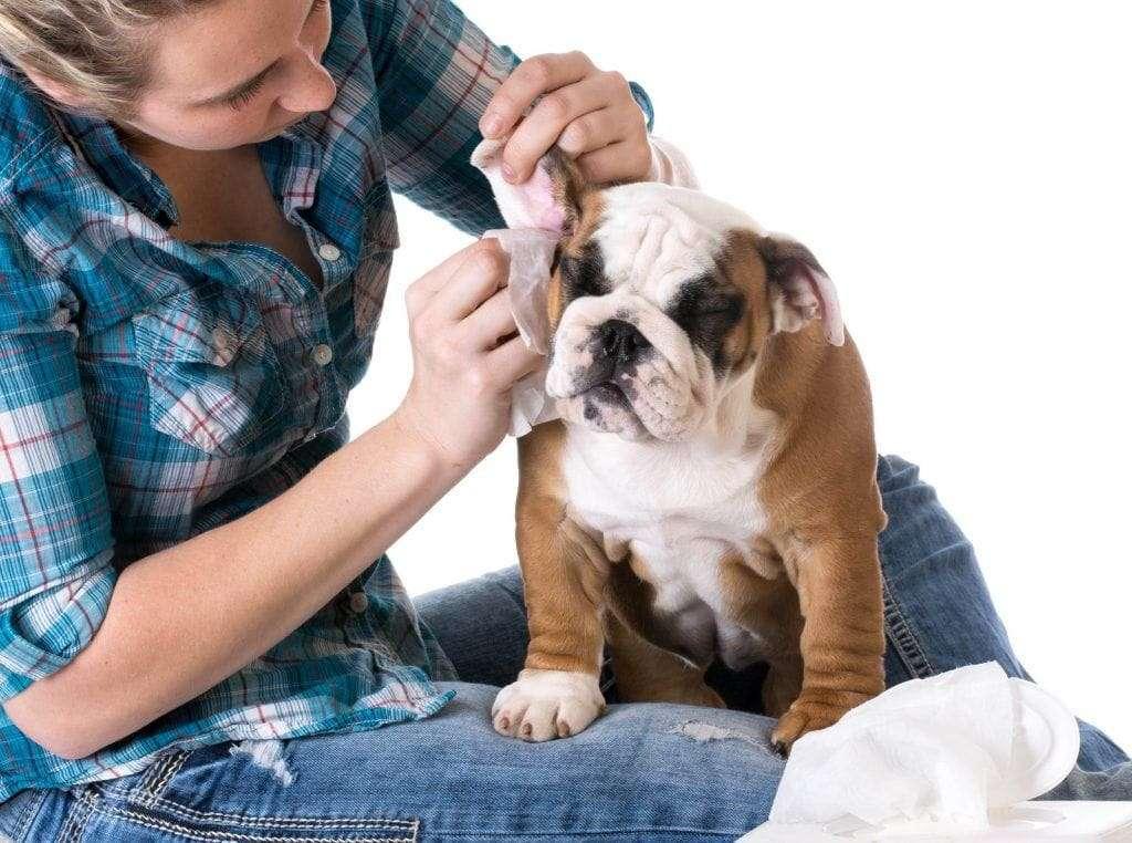 Earmites in dogs