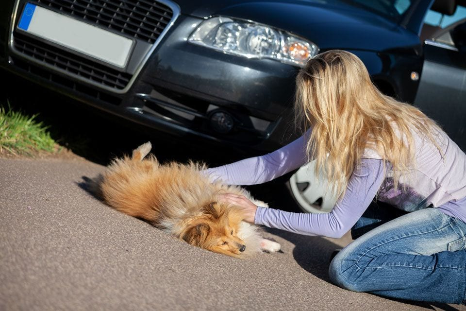Emergency-first-aid-for-dogs-road-traffic-accident