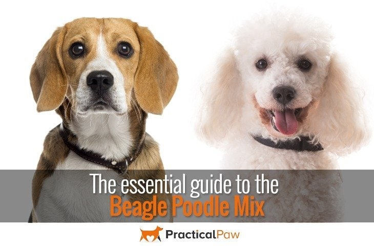 Essential guide to the poodle beagle mix - PracticalPaw.com
