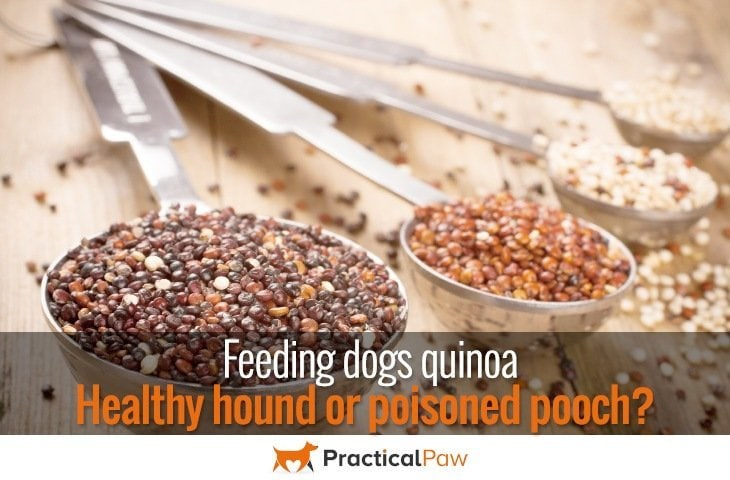 Feeding dogs quinoa