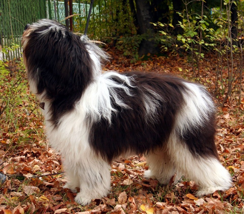 Fluffy-dog-breeds-Polish-lowland-sheepdog