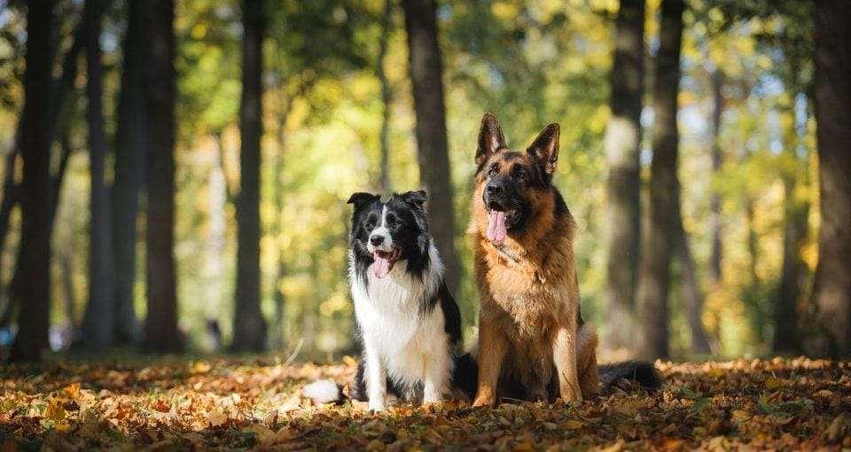 German-Shepherd-Border-Collie-Mix