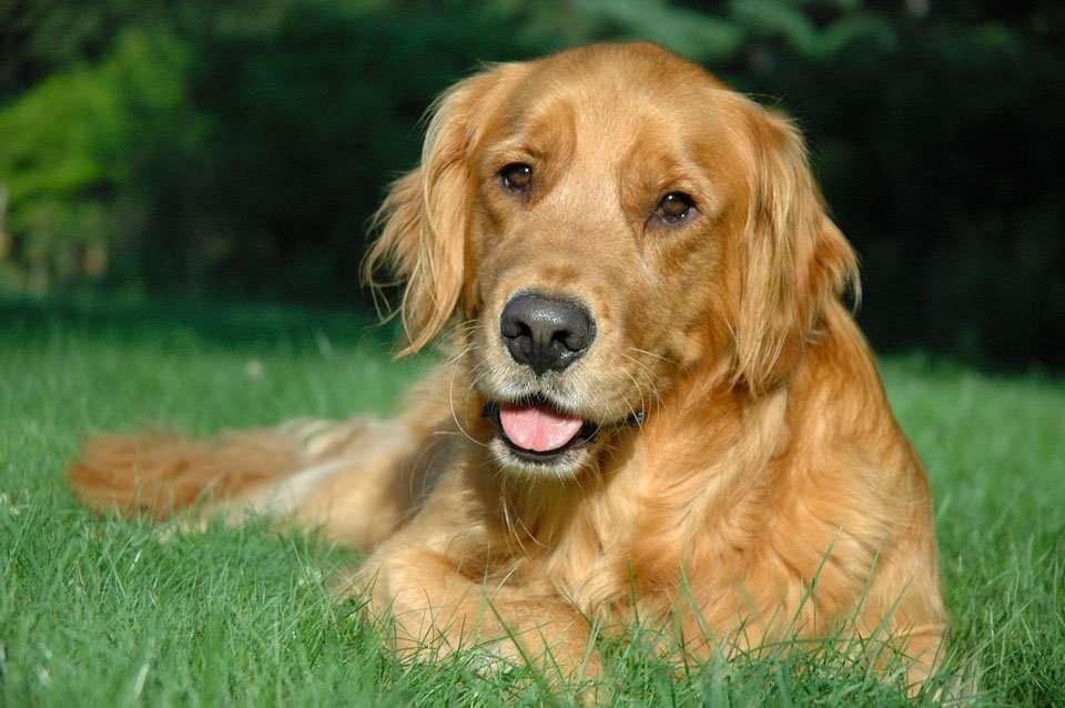 Husky Golden Retriever Mix The Gorgeous Goberian Practical Paw