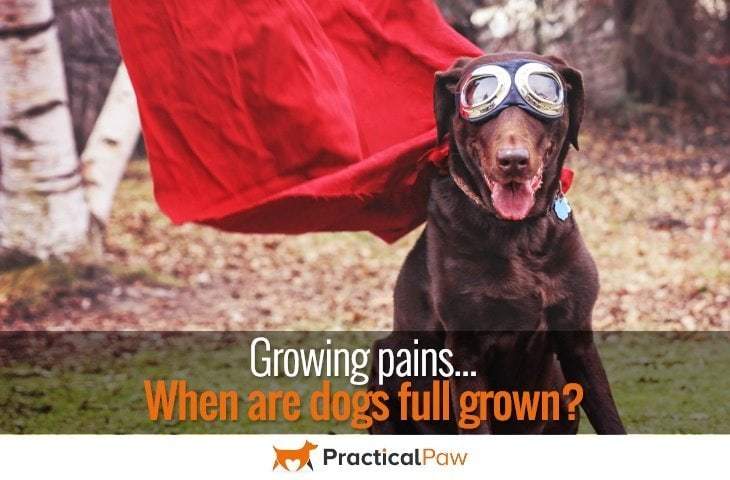 Growing pains, when are dogs full grown? - PracticalPaw.com