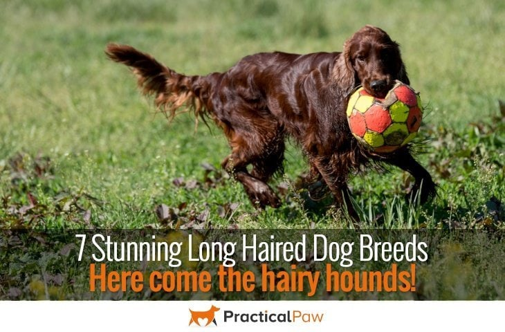 Hairy hounds; 7 stunning long haired dog breeds - practicalpaw.com
