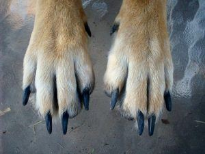 Hare feet - facts about dog paws