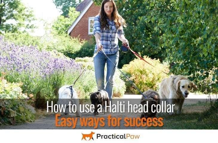 How to use a halti head collar