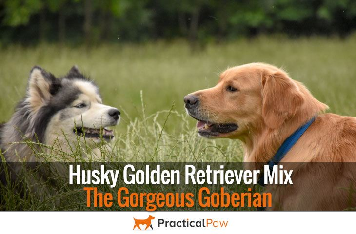 Husky Golden Retriever Mix The Gorgeous Goberian Practical Paw