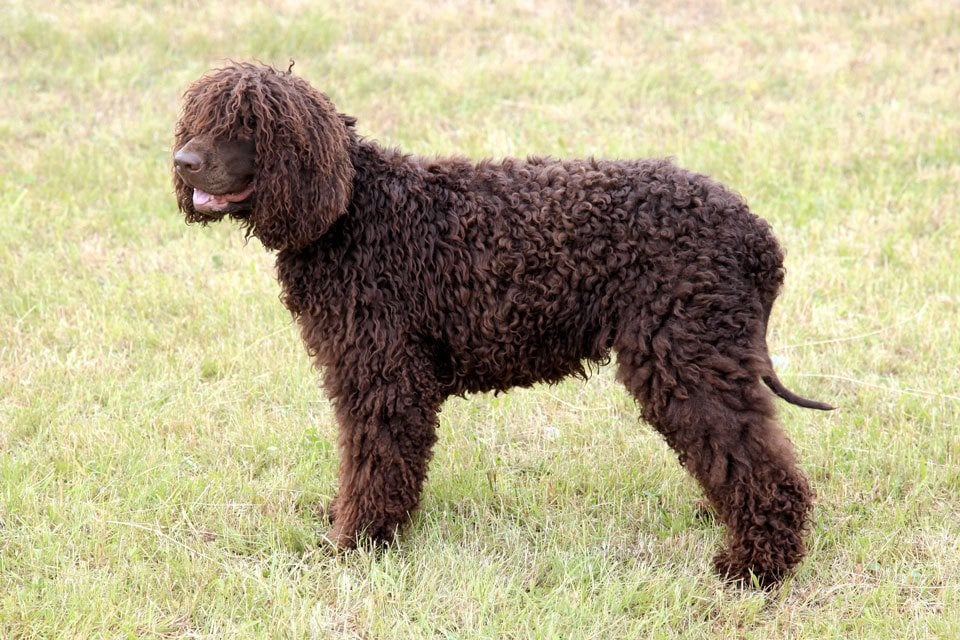 Types of Spaniel Irish-Water-Spaniel
