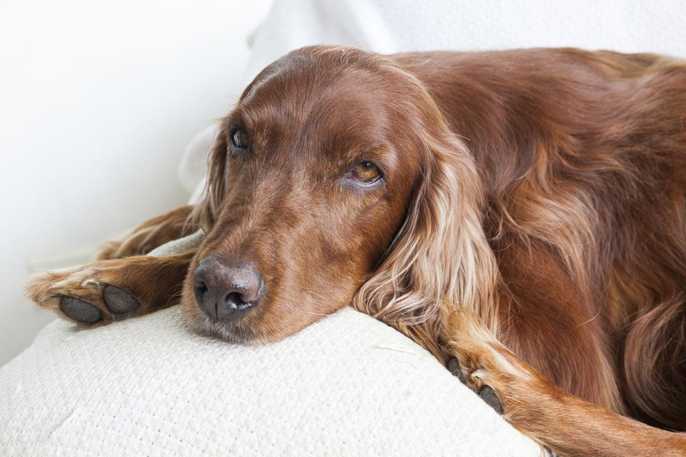 Irish-setter-long-haired-dog-breeds