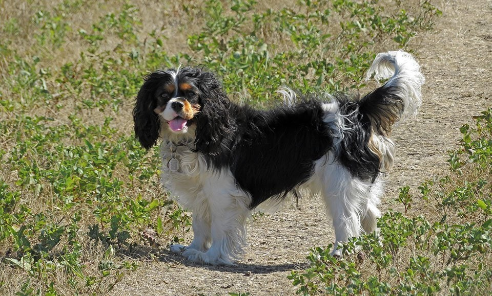 Types of Spaniel King-Charles-Spaniel