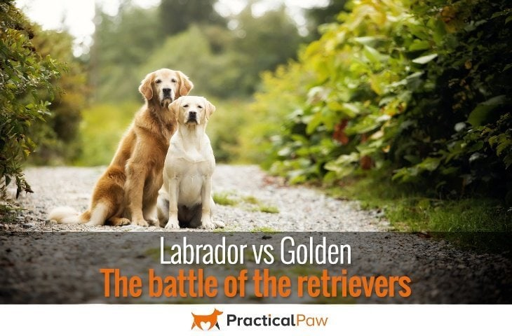 Labrador vs Golden, The Battle of the Retrievers - PracticalPaw.com