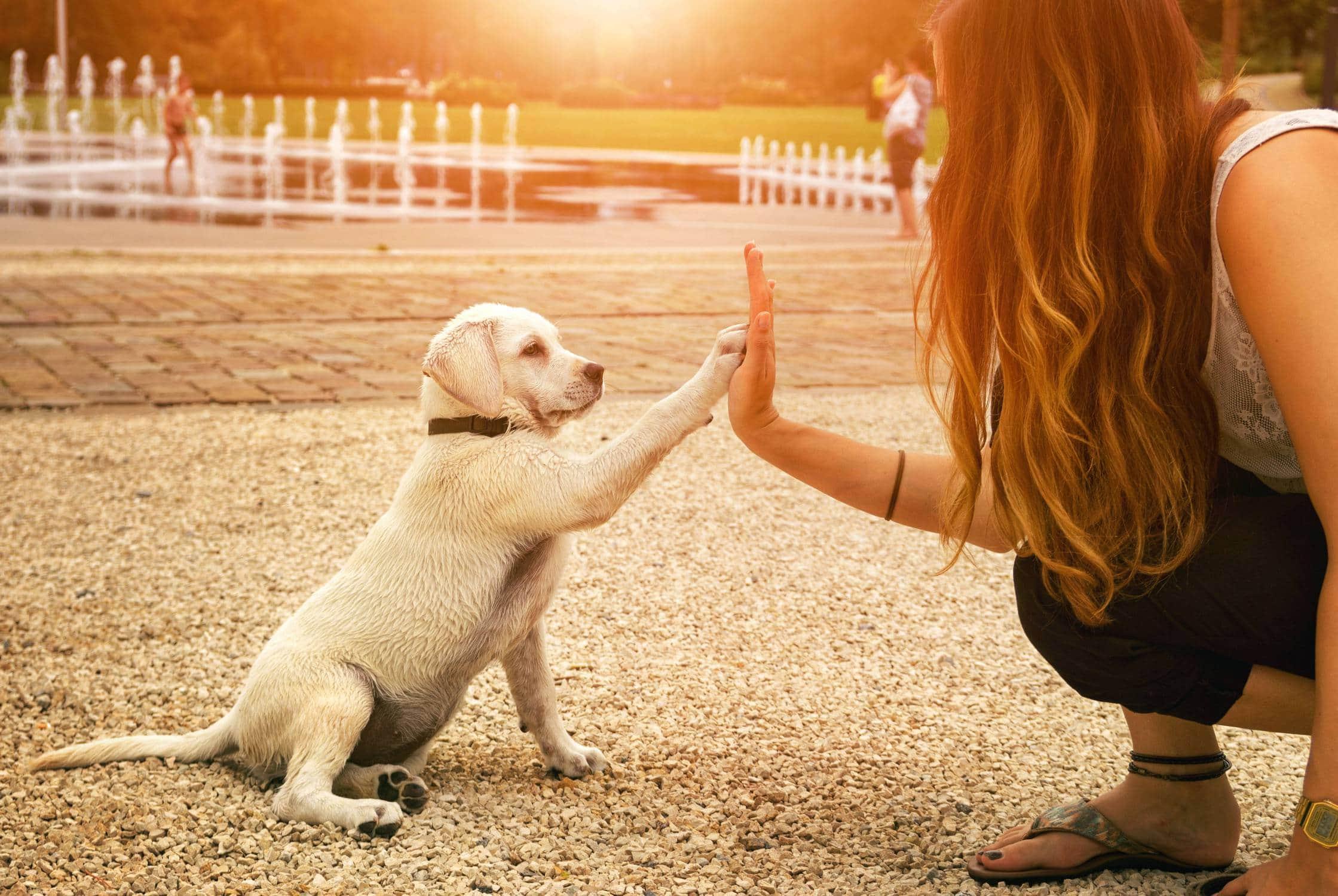 Labrador vs Golden ongoing care