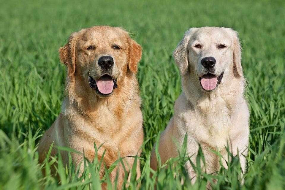 Labrador-vs-Golden-retriever