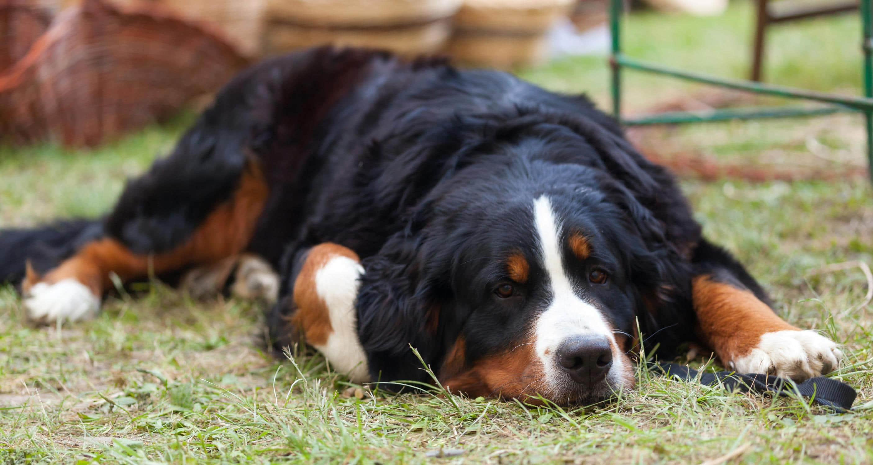 Large poodle mixes Bernedoodle
