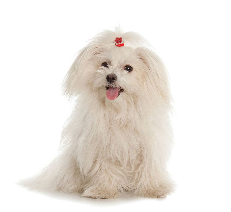 Maltese-long-haired-dog-breeds