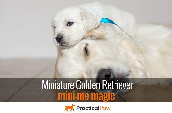 Miniature Golden Retriever - mini-me magic