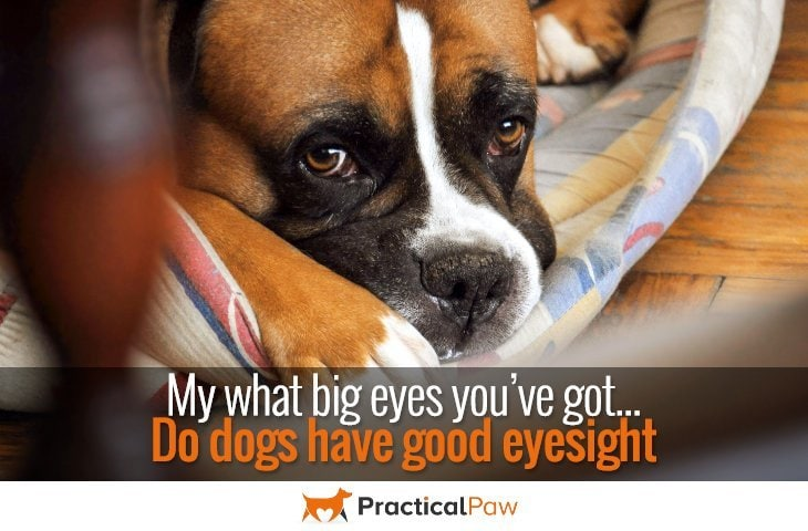 My what big eyes you've got – do dogs have good eyesight - PracticalPaw.com