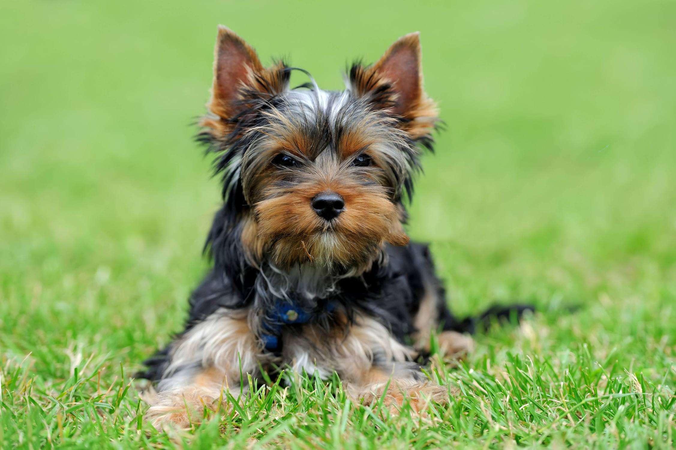 Popular poodle mixes Yorkie poo