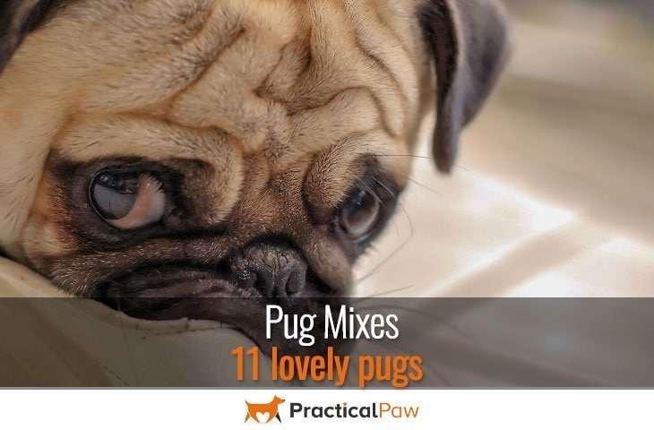 Pug mixes