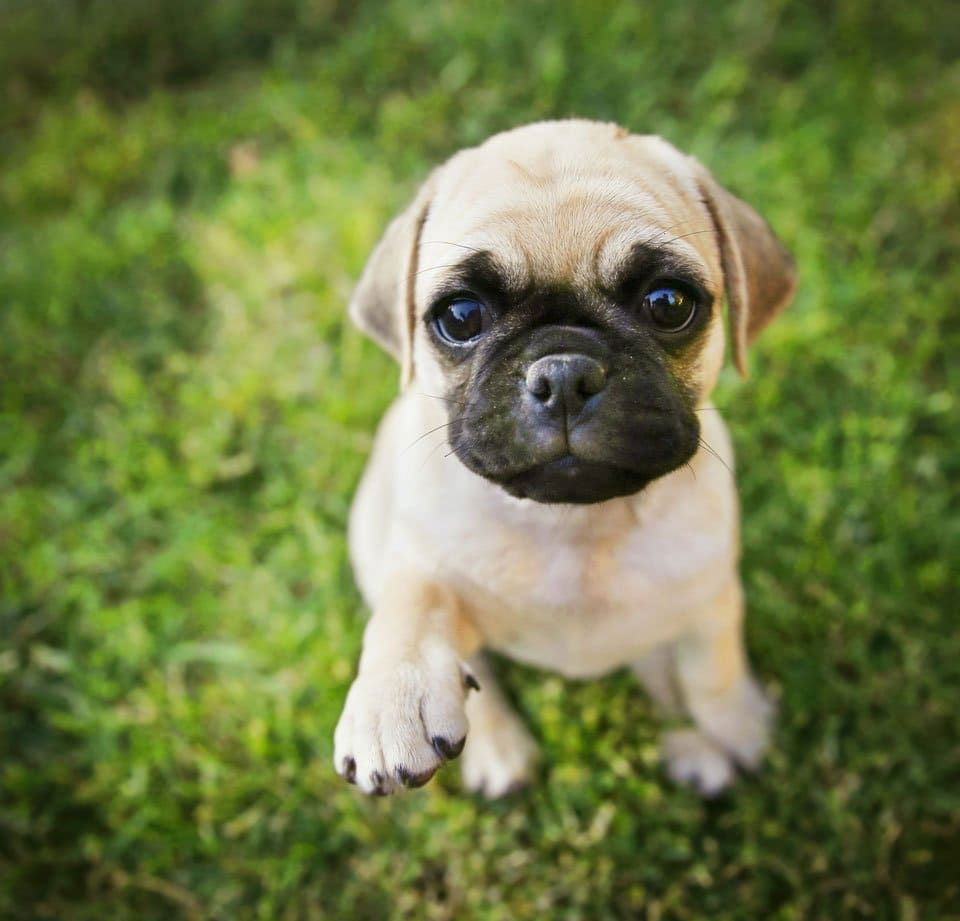Pug-mixes-Chug