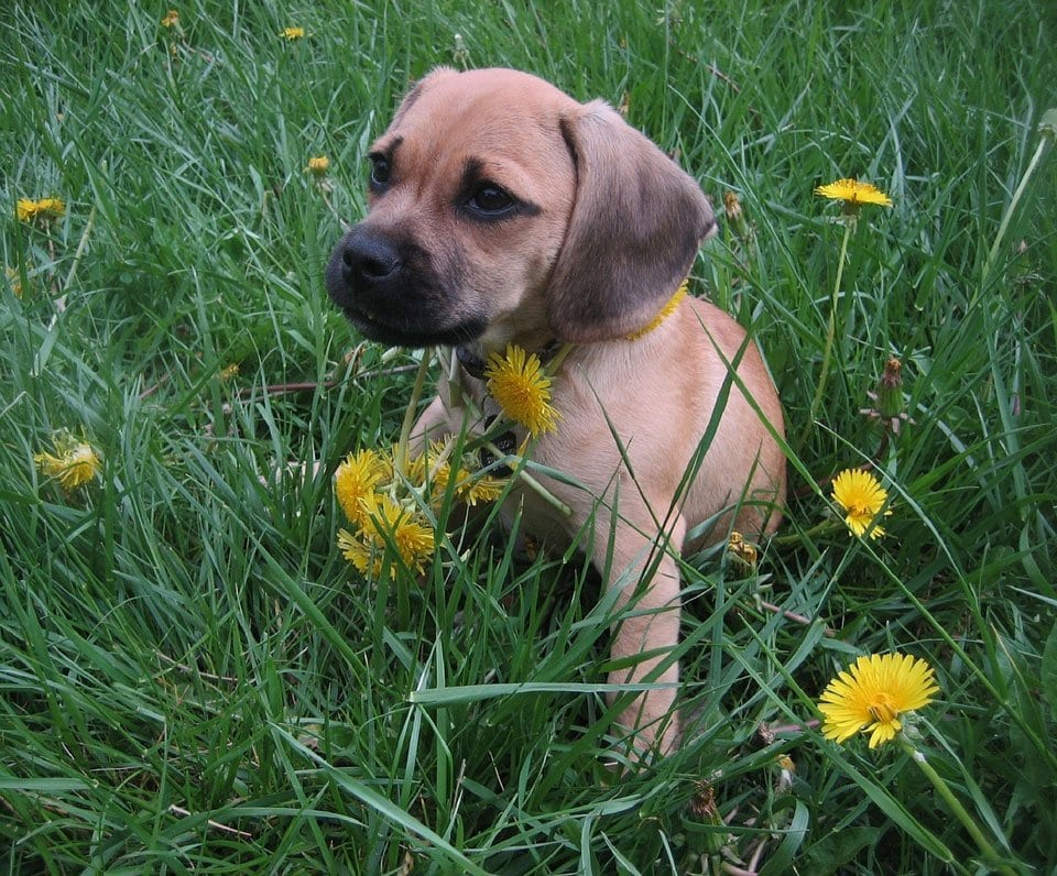 Pug-mixes-Puggle