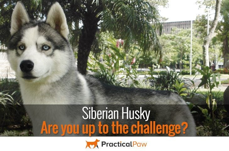 Siberian Husky - Are you up to the challenge?