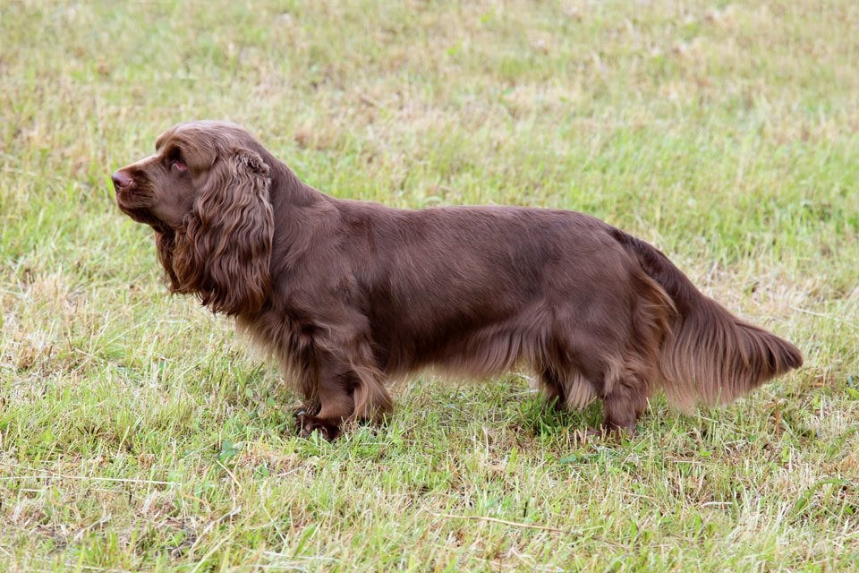 Types of Spaniel Sussex Spaniel